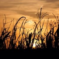Weekly Iowa Crop and Weather Report